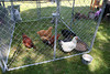IMG_3764_Just Us Chickens