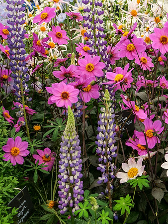 Lupines and dahlias