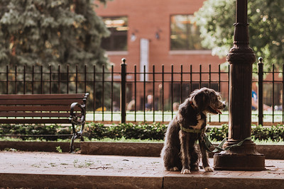 A dog sits happily on a brick sidewalk, loosely tied to an ornate lamp post.