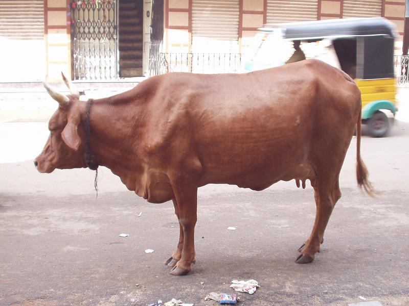 29 September: Cow