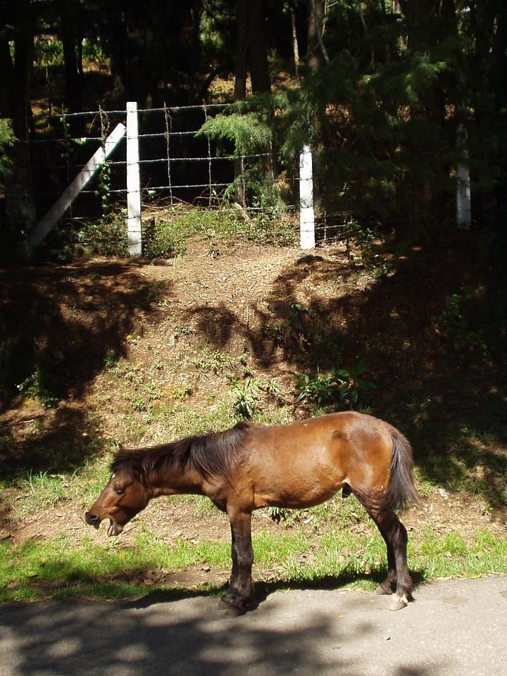 Horse yawning