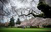 Cherry blossom at the Quad, University of Washington, Seattle