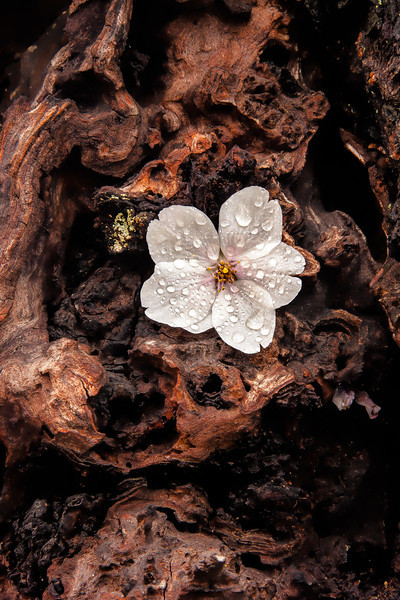 "Bark with Cherry Blossom - Augen 2013<br> <a href=""http://www.lightspacetime.com/botanicals-art-exhibition-photography-digital/"">Special Recognition in Light Space & Time Botanicals 2013</a>"