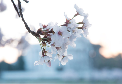 Cherry Blossoms 2014