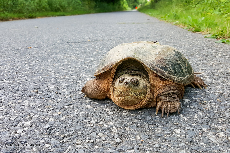 Snapping turtle on the Capital Crescent Trail  just about a mile away from the Washington Harbour.