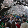 Visiting the Tidal Basin to enjoy the cherry blossoms on Saint Patrick's Day, March 17, 2012.