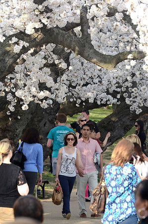 cherry blossoms, cherry trees, tidal basin, washington dc, March 19, photo by Tim Brown
