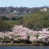 Arlington National Cemetery is in background, blooming cherry trees are in foregraound at the Tidal Basin, Washington, DC, April 4, 2009.