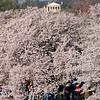At the Tidal Basin, Washington, DC, April 4, 2009. The Custis Lee Mansion at Arlington National Cemetery is at top.