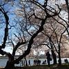 A ancient, rare Cork Tree at the Tidal Basin, Washington, DC, April 4, 2009.