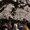 Visitors stroll beneath Yoshino trees in peak bloom at the Tidal Basin, Washington, DC. The Washington Monument is in the background. March 29, 2008.