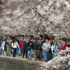 Visitors stroll beneath Yoshino trees in peak bloom at the Tidal Basin, Washington, DC. The Washington Monument is in the background. March 30, 2008.