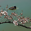 Yoshino cherry tree in early blossom, with male mallard duck on the Tidal Basin, Washington, DC, March 25, 2008.