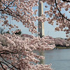 Cherry trees are in near full bloom at the Tidal Basin, with the Washington Monument in the background. March 29, 2008.