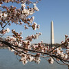 New blossoms of a Yoshino cherry tree frame the Washington Monument, March 25, 2008.