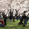 Vistors enjoy a solid canopy of white blossoms from the oldes Yoshino cherry trees at the Tidal Basin, Washington, DC , March 29, 2008.