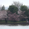 Cherry Blossoms at the Tidal Basin in Washington DC April 8 2014.