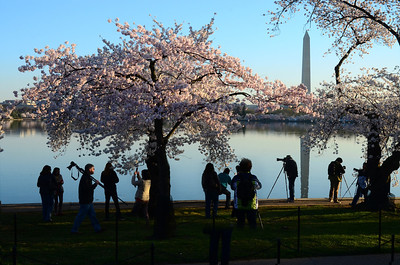 Cherry Blossoms at the Tidal Basin, Washington DC, April 2014. Photo by Tim Brown