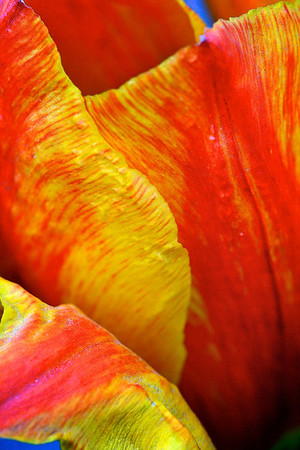 Close-up Tulip_2378020796_o