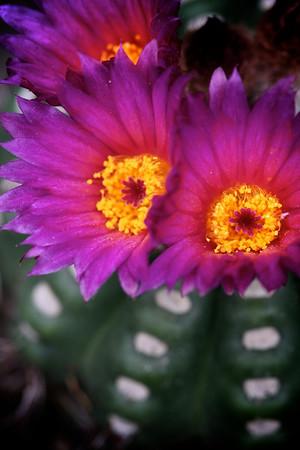 Flowering Cactus_2377196977_o