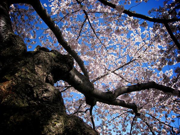 Cherry Blossom 2_3424292827_o
