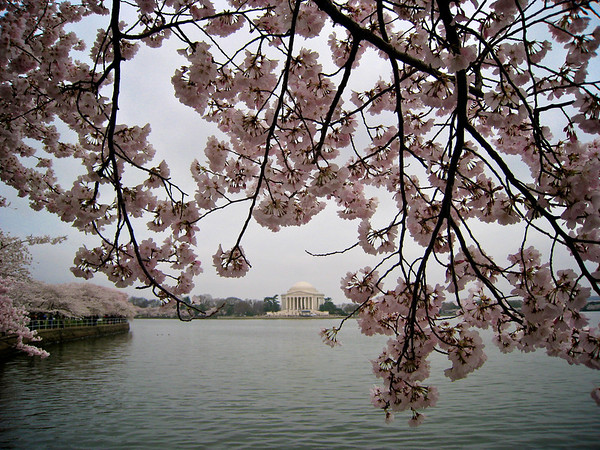 Gloomy Cherry Blossom 3_3425098714_o