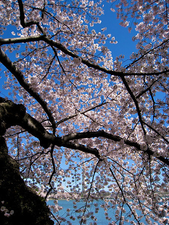 Cherry Blossom 3_3425100908_o