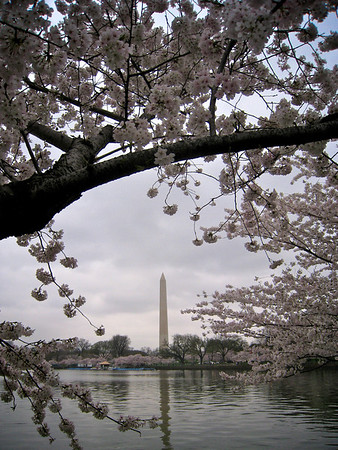 Gloomy Cherry Blossom 1_3425099290_o
