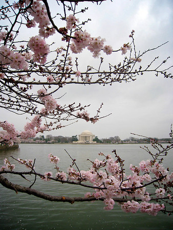 Gloomy Cherry Blossom 4_3424290045_o