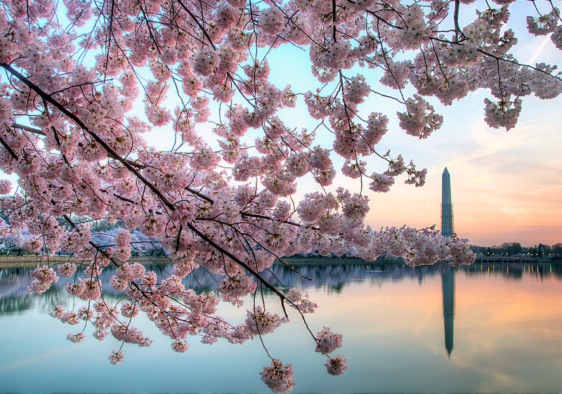 The Monument and Cherry Blossoms
