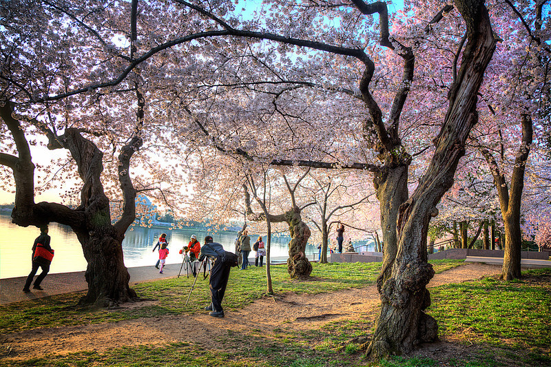 Cherry Blossom Photographers