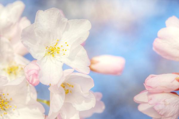Cherry Blossom Season Again :)