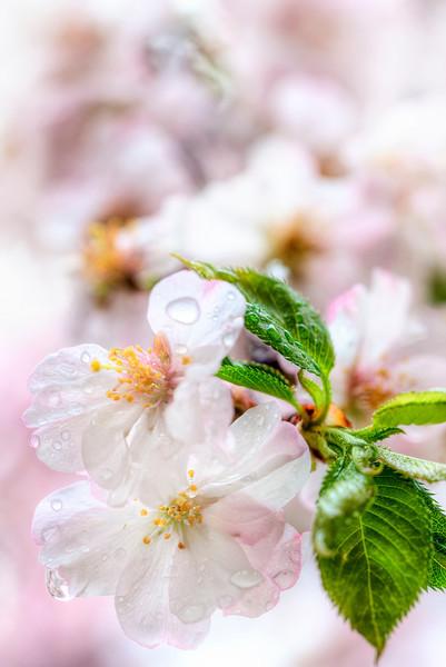 Cherry Blossoms in the Rain