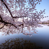 Cherry Blossom Branch at the Tidal Basin