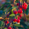 Spec Cherry Harvest