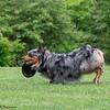 Chesapeake Disc Dogs Club, May 2018-5083