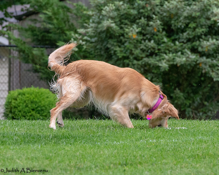 Chesapeake Disc Dogs Club, May 2018-5112