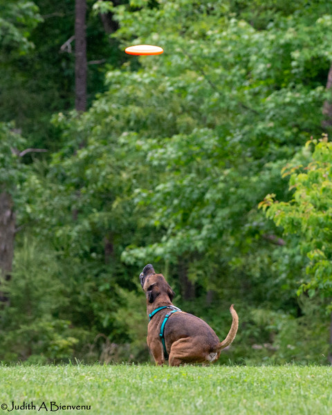 Chesapeake Disc Dogs Club, May 2018-5022