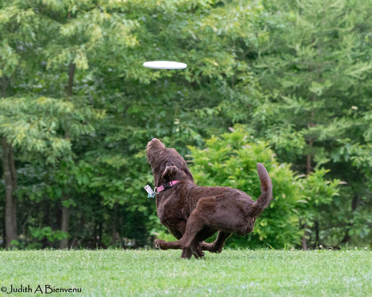 Chesapeake Disc Dogs Club, May 2018-5065