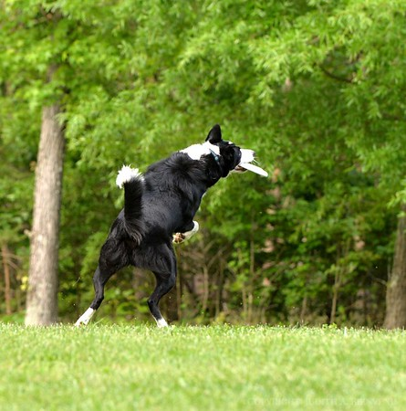 Chesapeake Disc Dogs May 2017
