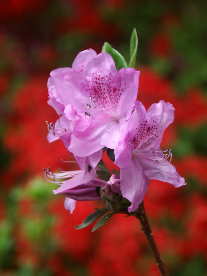 Lavendar azalea on a red background.