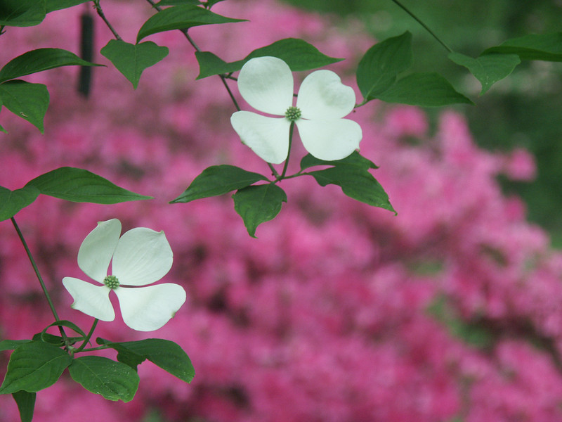 White dogwoods on a pink background.