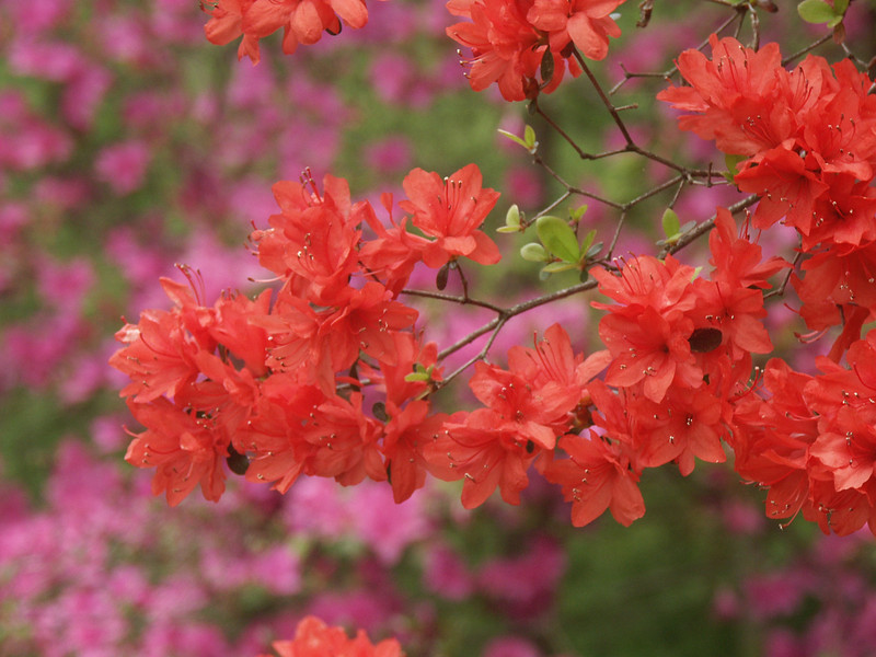 Red azaleas on a lavendar background.