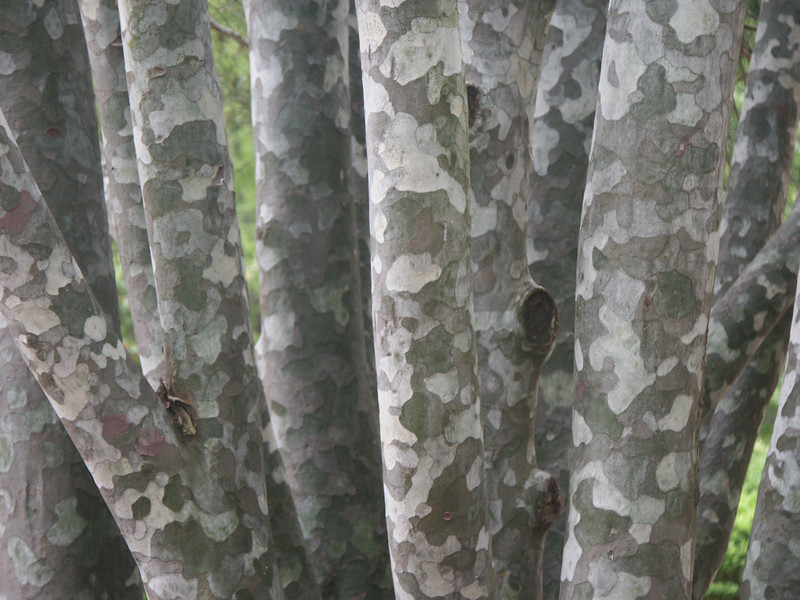 Lace Bark trees.