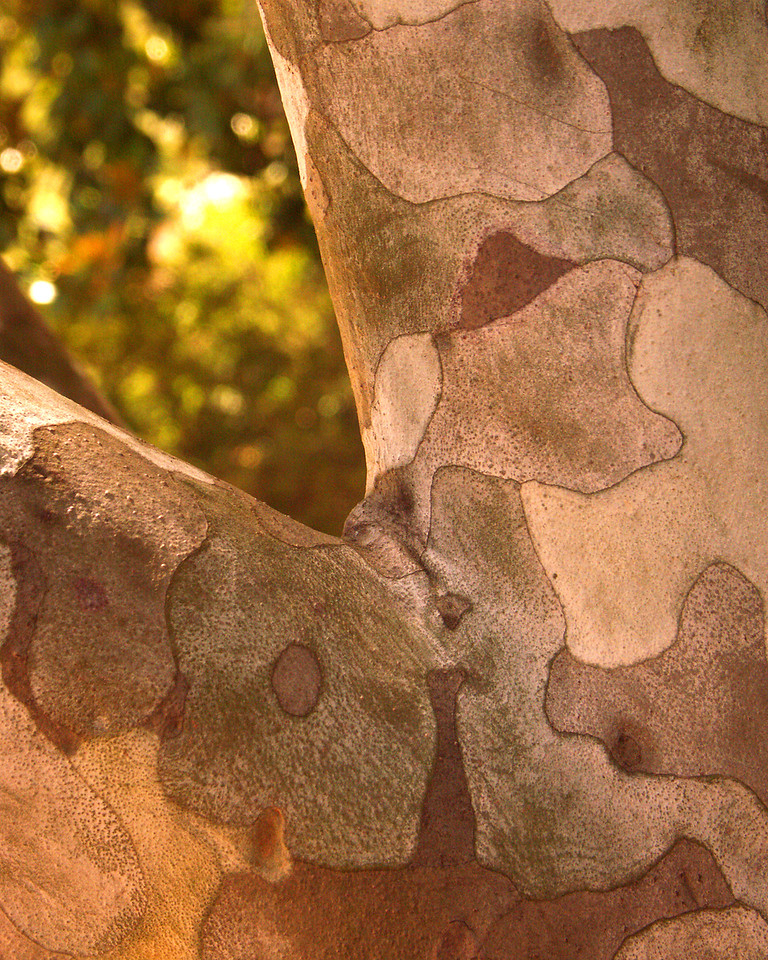 Closer view of the lace bark.