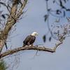 Bald Eagle surveys the Eastern Bay