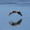 03 Great Blue Heron (Ardea herodias)