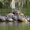 12 Eastern Painted turtles