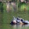 11 Eastern Painted turtles