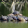 14 Eastern Painted turtles